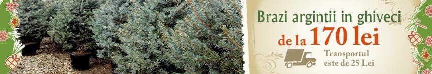 Brazi argintii in ghiveci 140-170 cm