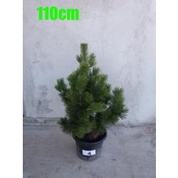 Pin Bosnian NR. 004 (Pinus Leucodermis)