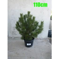 Pin Bosnian NR. 005 (Pinus Leucodermis)