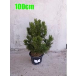 Pin Bosnian NR. 006 (Pinus Leucodermis)
