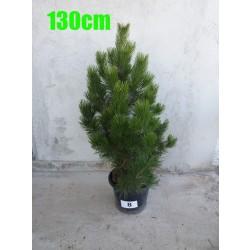 Pin Bosnian NR. 008 (Pinus Leucodermis)
