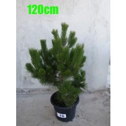 Pin Bosnian NR. 010 (Pinus Leucodermis)