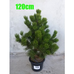 Pin Bosnian NR. 012 (Pinus Leucodermis)
