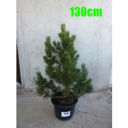 Pin Bosnian NR. 015 (Pinus Leucodermis)