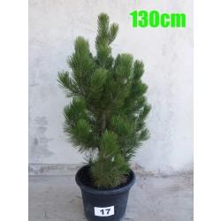 Pin Bosnian NR. 017 (Pinus Leucodermis)