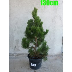 Pin Bosnian NR. 019 (Pinus Leucodermis)