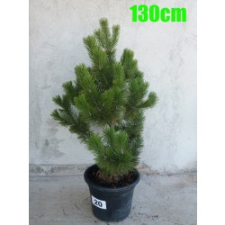 Pin Bosnian NR. 020 (Pinus Leucodermis)