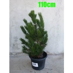 Pin Bosnian NR. 021 (Pinus Leucodermis)
