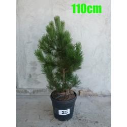 Pin Bosnian NR. 025 (Pinus Leucodermis)