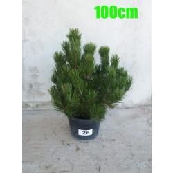 Pin Bosnian NR. 026 (Pinus Leucodermis)