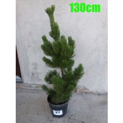 Pin Bosnian NR. 027 (Pinus Leucodermis)