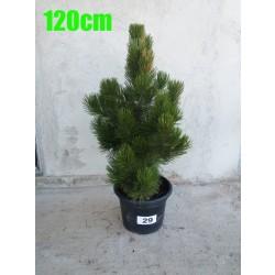 Pin Bosnian NR. 029 (Pinus Leucodermis)