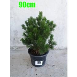Pin Bosnian NR. 030 (Pinus Leucodermis)