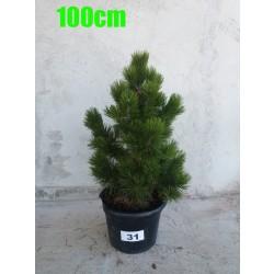 Pin Bosnian NR. 031 (Pinus Leucodermis)
