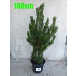 Pin Bosnian NR. 033 (Pinus Leucodermis)