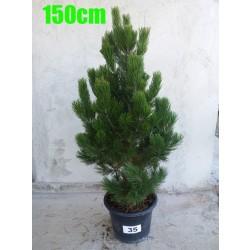 Pin Bosnian NR. 035 (Pinus Leucodermis)
