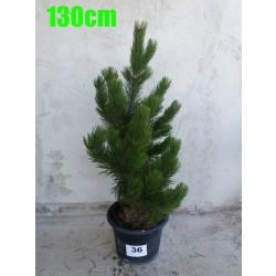 Pin Bosnian NR. 036 (Pinus Leucodermis)