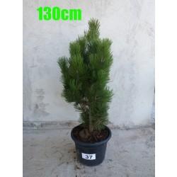 Pin Bosnian NR. 037 (Pinus Leucodermis)