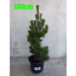 Pin Bosnian NR. 040 (Pinus Leucodermis)