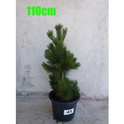 Pin Bosnian NR. 041 (Pinus Leucodermis)
