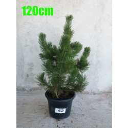 Pin Bosnian NR. 042 (Pinus Leucodermis)