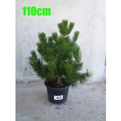 Pin Bosnian NR. 043 (Pinus Leucodermis)