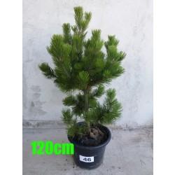 Pin Bosnian NR. 046 (Pinus Leucodermis)