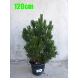 Pin Bosnian NR. 047 (Pinus Leucodermis)