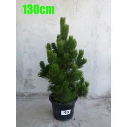 Pin Bosnian NR. 048 (Pinus Leucodermis)