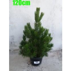 Pin Bosnian NR. 049 (Pinus Leucodermis)