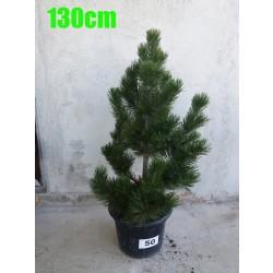Pin Bosnian NR. 050 (Pinus Leucodermis)