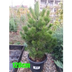 Pin Bosnian NR. 051 (Pinus Leucodermis)