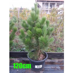 Pin Bosnian NR. 052 (Pinus Leucodermis)