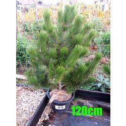 Pin Bosnian NR. 053 (Pinus Leucodermis)