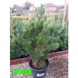 Pin Bosnian NR. 054 (Pinus Leucodermis)