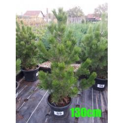 Pin Bosnian NR. 055 (Pinus Leucodermis)