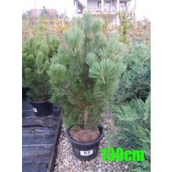 Pin Bosnian NR. 057 (Pinus Leucodermis)
