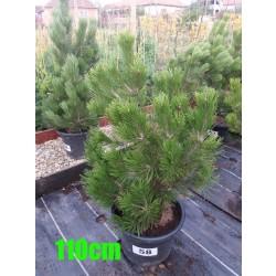 Pin Bosnian NR. 058 (Pinus Leucodermis)