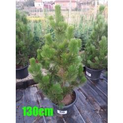 Pin Bosnian NR. 060 (Pinus Leucodermis)