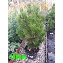 Pin Bosnian NR. 061 (Pinus Leucodermis)
