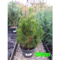Pin Bosnian NR. 062 (Pinus Leucodermis)