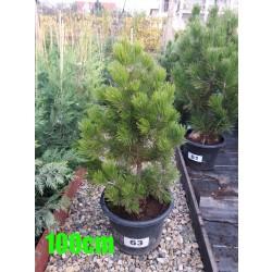 Pin Bosnian NR. 063 (Pinus Leucodermis)