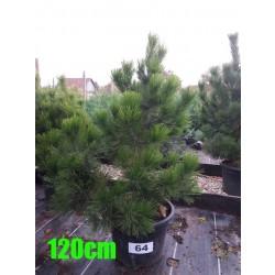 Pin Bosnian NR. 064 (Pinus Leucodermis)
