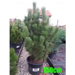 Pin Bosnian NR. 065 (Pinus Leucodermis)
