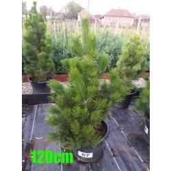 Pin Bosnian NR. 067 (Pinus Leucodermis)
