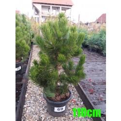 Pin Bosnian NR. 069 (Pinus Leucodermis)