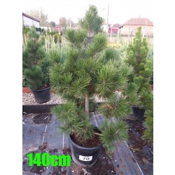 Pin Bosnian NR. 070 (Pinus Leucodermis)