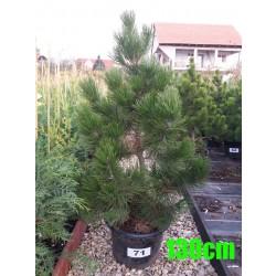Pin Bosnian NR. 071 (Pinus Leucodermis)