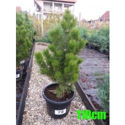 Pin Bosnian NR. 072 (Pinus Leucodermis)