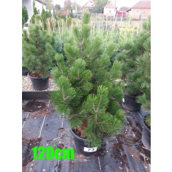 Pin Bosnian NR. 073 (Pinus Leucodermis)